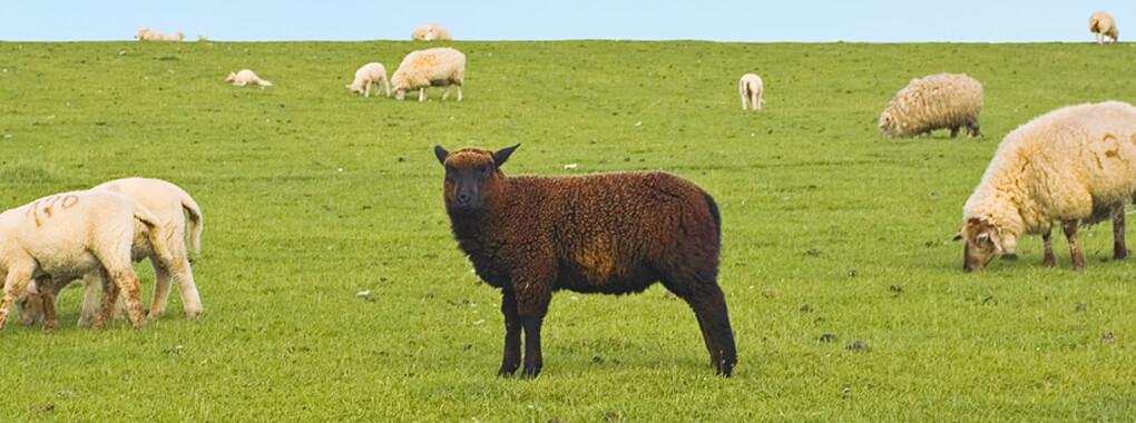 Keiner ist doch: gerne das schwarze Schaf